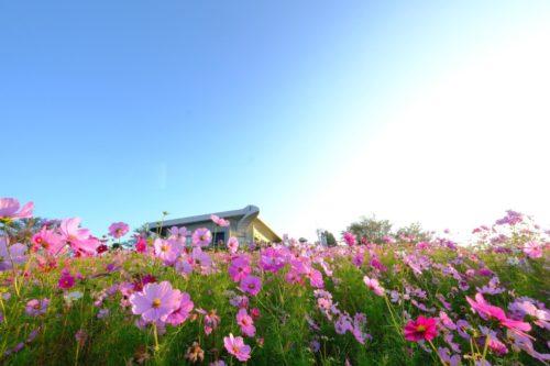 和歌山の人気なおすすめのプロポーズスポットで鷲ヶ峰コスモスパーク